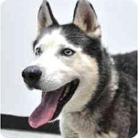 Adopt A Pet :: Stormy - Port Washington, NY