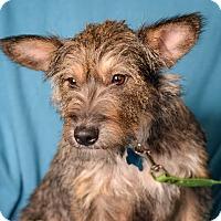 Adopt A Pet :: Dancer - Minneapolis, MN