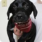 Adopt A Pet :: BL Wesley (Pup3) *Has App*