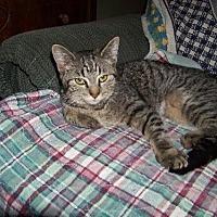Domestic Shorthair Cat for adoption in Glendale, Arizona - Rita