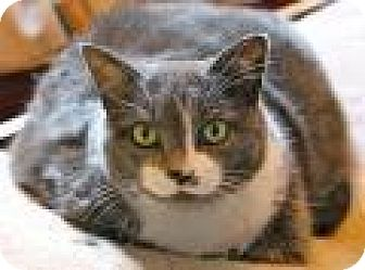 Domestic Shorthair Cat for adoption in Memphis, Tennessee - Jenny