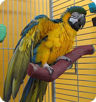 Macaw for adoption in Edgerton, Wisconsin - Scooter