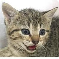 Adopt A Pet :: Kourtney - Springdale, AR