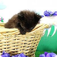 Adopt A Pet :: Chewie - Harrisonburg, VA