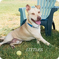 Labrador Retriever/Pit Bull Terrier Mix Dog for adoption in Patterson, California - Littles