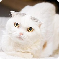 Adopt A Pet :: Snow - Fountain Hills, AZ