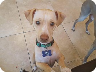 Chihuahua Mix Dog for adoption in Fountain Valley, California - Skittles