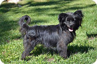 Papillon/Pomeranian Mix Dog for adoption in Mountain Center, California - Sake