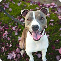 Staffordshire Bull Terrier/Pit Bull Terrier Mix Dog for adoption in Pitt Meadows, British Columbia - Dolly