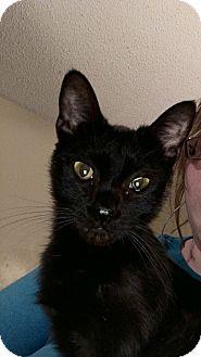 Domestic Shorthair Kitten for adoption in Kingsport, Tennessee - Stringbean