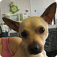 Chihuahua Mix Dog for adoption in Joliet, Illinois - Bernard