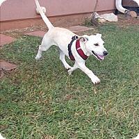 Dachshund/Labrador Retriever Mix Puppy for adoption in West Springfield, Massachusetts - George