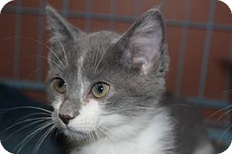 Manx Kitten for adoption in Louisville, Kentucky - Willow
