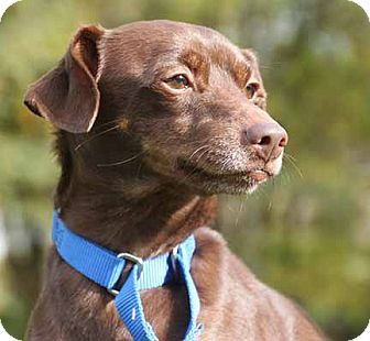 Miniature Pinscher Mix Dog for adoption in South Bend, Indiana - Titus