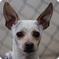 Greyhound/Chihuahua Mix Dog for adoption in Las Vegas, Nevada - Johnny Cash