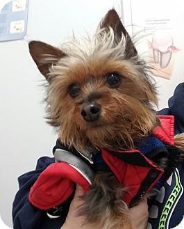 "Yorkie, Yorkshire Terrier Dog for adoption in Seattle, Washington - ""Gidgy"""