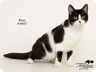 Domestic Shorthair Cat for adoption in Baton Rouge, Louisiana - Rizzo