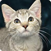 Domestic Shorthair Kitten for adoption in Atlanta, Georgia - Helen 161715