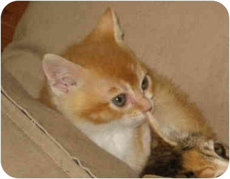 Domestic Shorthair Kitten for adoption in Davis, California - Percy