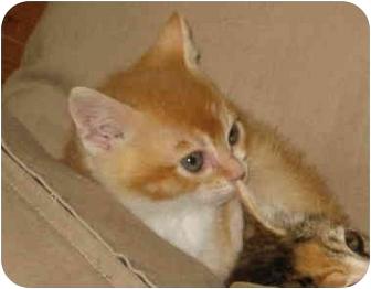 Domestic Shorthair Kitten for adoption in Davis, California - Percy