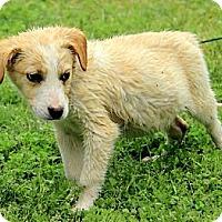 Adopt A Pet :: Hogan - Brattleboro, VT