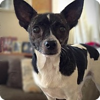 Adopt A Pet :: Sweetie - Fairview Heights, IL