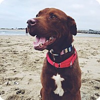 Adopt A Pet :: Emerson - Newport Beach, CA
