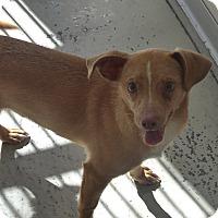 Adopt A Pet :: Chico - Manning, SC