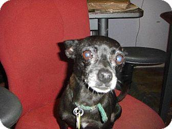 Chihuahua Dog for adoption in Tucson, Arizona - Jasmine