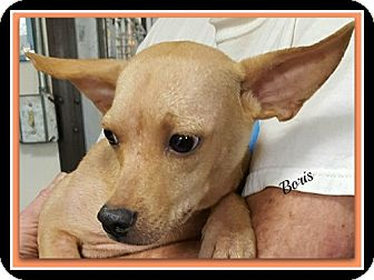 Chihuahua Mix Puppy for adoption in Tombstone, Arizona - Boris