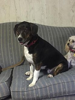 Beagle/Foxhound Mix Dog for adoption in Grantville, Pennsylvania - Rusty