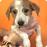 Terrier (Unknown Type, Small) Mix Puppy for adoption in Boca Raton, Florida - Mona