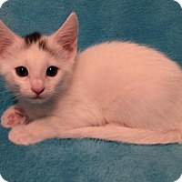 Domestic Shorthair Kitten for adoption in Grove City, Ohio - Rylee