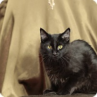 Domestic Shorthair Cat for adoption in Tehachapi, California - Cisco