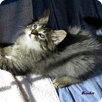 Adopt A Pet :: Koda - St. Louis, MO