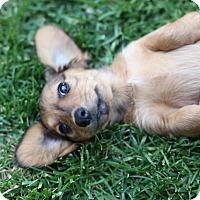 Adopt A Pet :: Penelope - Lodi, CA
