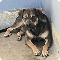 German Shepherd Dog/Rottweiler Mix Dog for adoption in Staunton, Virginia - Momma