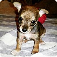 Adopt A Pet :: PeeWee - Rancho Santa Fe, CA