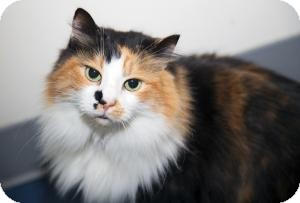 Domestic Longhair Cat for adoption in Brooklyn, New York - ANGIE