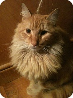 Domestic Longhair Cat for adoption in Brooklyn, New York - Van Wyck