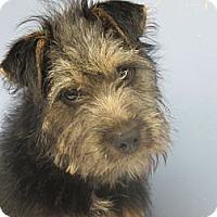 Adopt A Pet :: Cricket Urgent in NE - Brattleboro, VT
