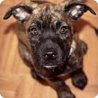 Adopt A Pet :: Crystal - Justin, TX