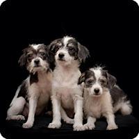 Adopt A Pet :: Middy, Marlowe & Midge - Houston, TX