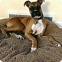 Adopt A Pet :: Pandora Boxer - Dayton, OH