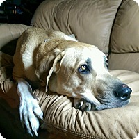 Adopt A Pet :: Sarge - Broomfield, CO