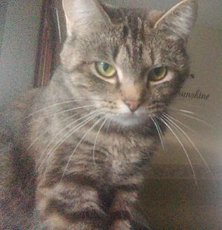 Domestic Shorthair Cat for adoption in Cumberland and Baltimore, Maryland - Lizzie