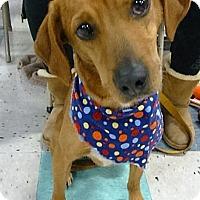 Adopt A Pet :: Amber - Schaumburg, IL