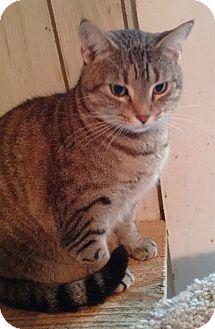 Domestic Shorthair Cat for adoption in Morganton, North Carolina - Sunshine