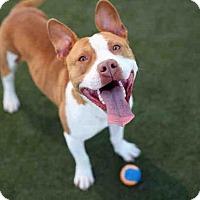 Adopt A Pet :: CHEVY - Martinez, CA