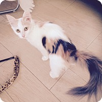 Adopt A Pet :: Tails white Calico - Long Beach, CA